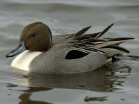 Image of Northern Pintail (Male)