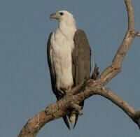 Image of White-bellied Sea-Eagle