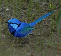 Image of Splendid Fairy-wren (Male)