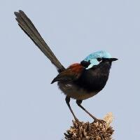 Image of Red-winged Fairy-wren (Male)