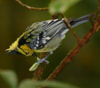 Image of Yellow-cheeked Tit