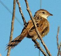 Image of Tawny Grassbird