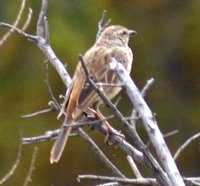 Image of Rufous Songlark